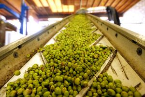 Processing The Olives
