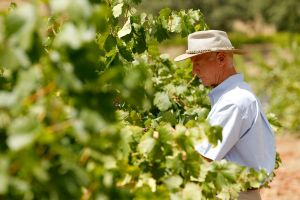 Winemaker Checking Grapes
