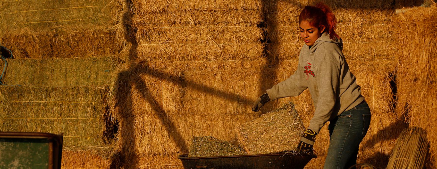 Natalie Gutierrez getting hay